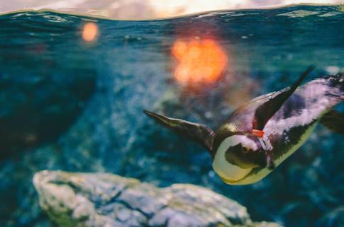 Zoo Penguin