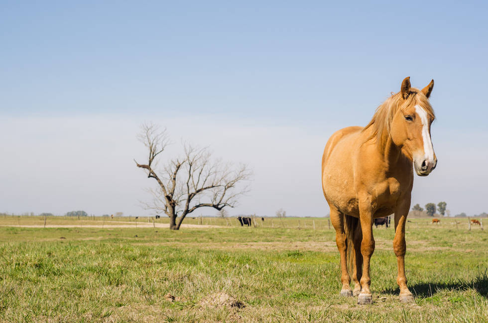 Argentine Horse