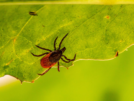 How climate change provides a perfect environment for tick-borne Lyme disease