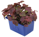 Shiso-Purple-.png