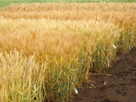 小麦畑を見てきました