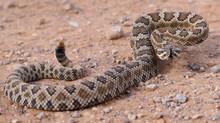 Rattlesnakes: Information
