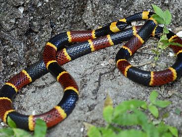 eastern-coral-snake-shutterstock_4761183