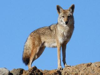 Coyotes: Information
