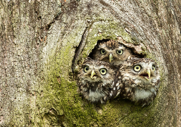 Three Little Owls in the hollow of a tre
