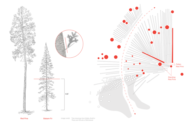 """Image credit: Balsam and red pine drawings from Welby Smith's """"Trees and Shrubs of Minnesota."""""""