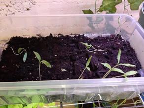 Greenhouse Shelf: 3 Month Update