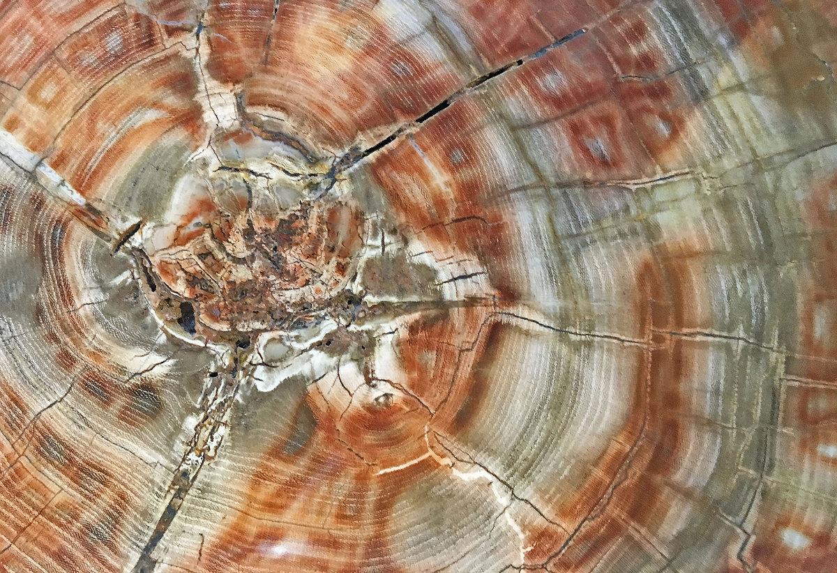 Petrified Wood from the Miocene Era.jpg