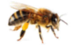 honey-bee-image-131092-6269682.png