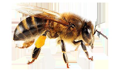 honey-bee-image-131092-6269682.png