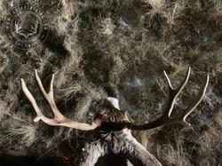 Arizona OTC archery mule deer 21
