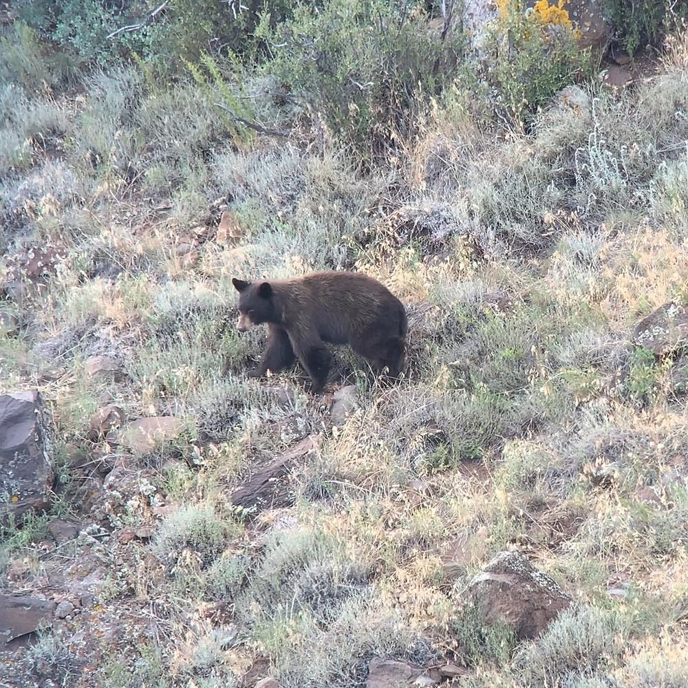 Color Phase Arizona Black Bear