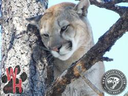 Arizona Dry Ground Mountain Lion 8