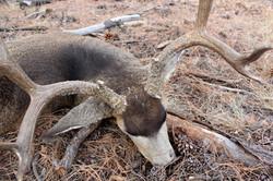 Unit 12AW Kaibab rifle Mule deer 6