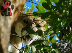 Arizona Dry Ground Mountain Lion 2
