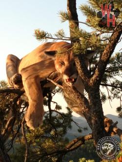 Arizona Dry Ground Mountain Lion 7