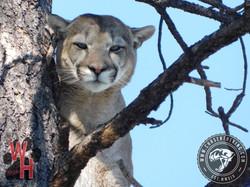 Arizona Dry Ground Mountain Lion 5