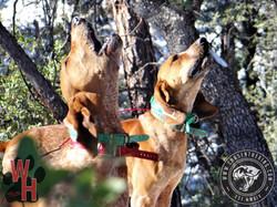 Arizona Dry Ground Mountain Lion 4