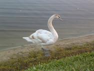 Swan on Lake Delrain