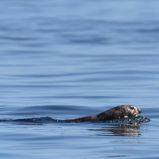 sea otter, amanda colbert