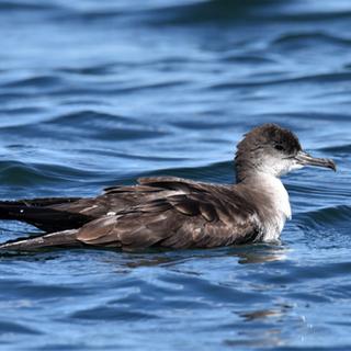 wedge-tailed shearwater, amanda colbert