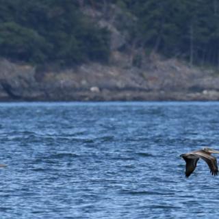 brown pelican, amanda colbert