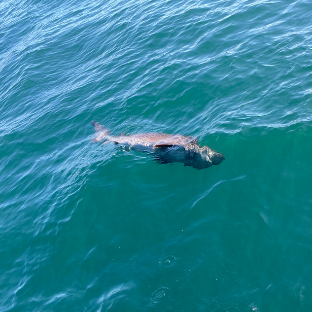 six-gill shark, amy eberling