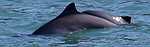 pacmam porpoise.png