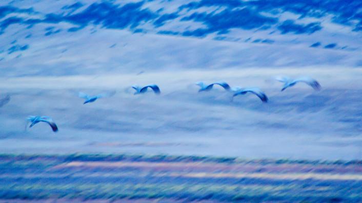 Sandhill Cranes in Blue