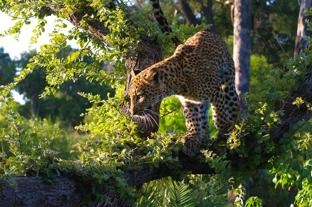 Jungle Cat, Okavango Delta, Botswana © TerraLens Photography LLC