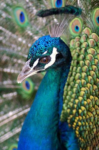 A Pretentious Peacock