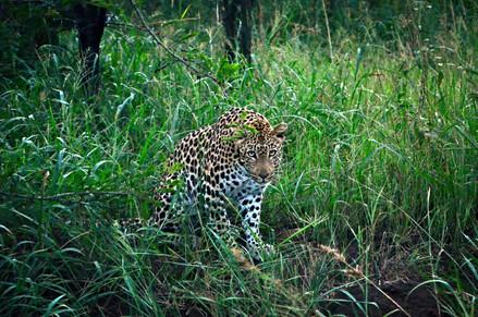The Leopard Stare