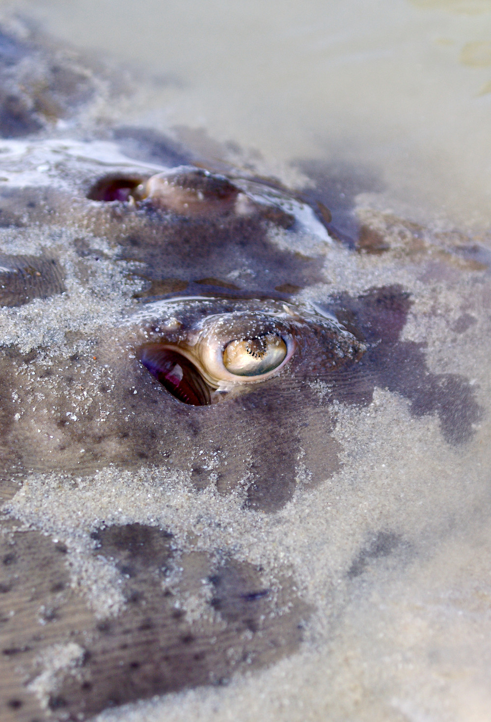Guitarfish in South Africa (c) TerraLens Photography