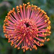 The Protea