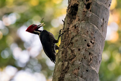 Lineated Woodpecker.jpg