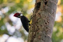 Lineated Woodpecker.jpg
