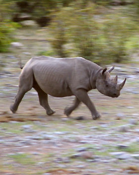Rhino in Motion.jpg