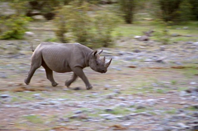Rhino in Motion