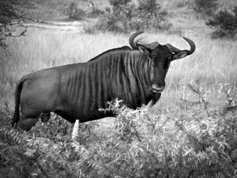 Blue Wildebeest in Black