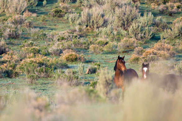 Horses of Sage