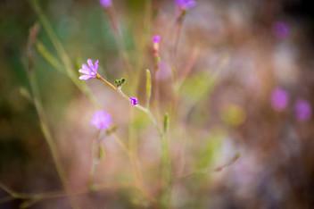 Summer Purple Bud