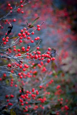 Reddest Berries