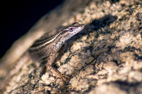 A female lizard is caught in between bursts of speed to hide herself from my view. She eyes me warily before darting off again into the rock crevices, in Augrabies Falls National Park, Northern Cape, South Africa.