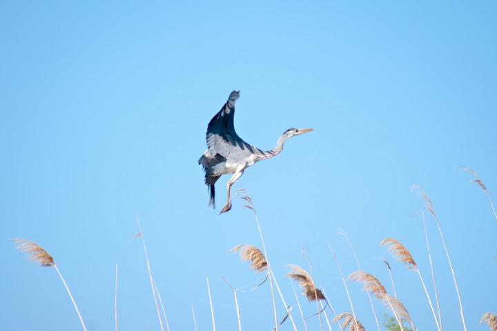 Hovering Heron