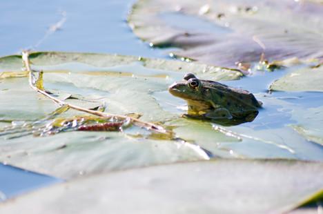 Lily Pad Frog