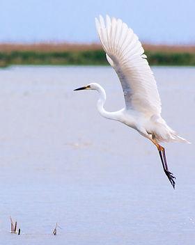 Dance of the Egret.jpg