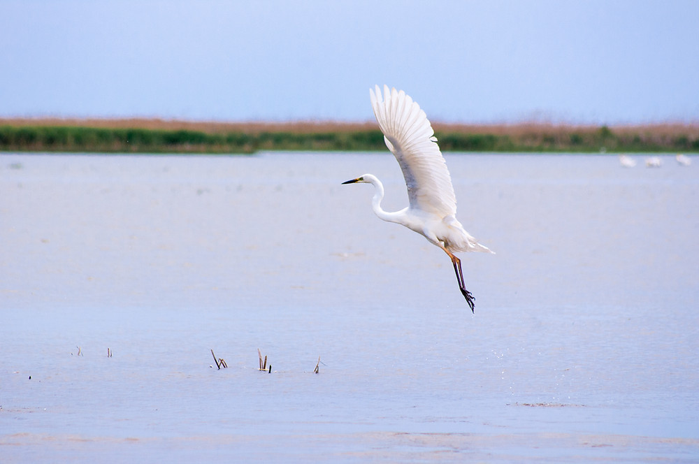 Dance of the Egret, Danube Delta, Romania © TerraLens Photography LLC
