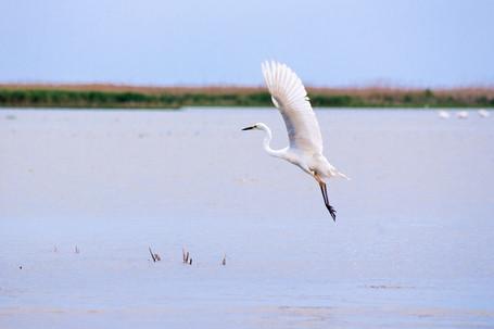 Dance of the Egret