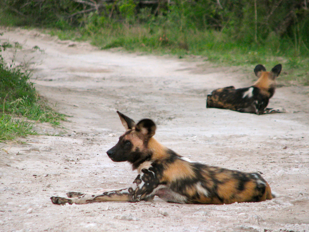A pack of wild dogs rest in the road after a successful hunt. © TerraLens Photography LLC