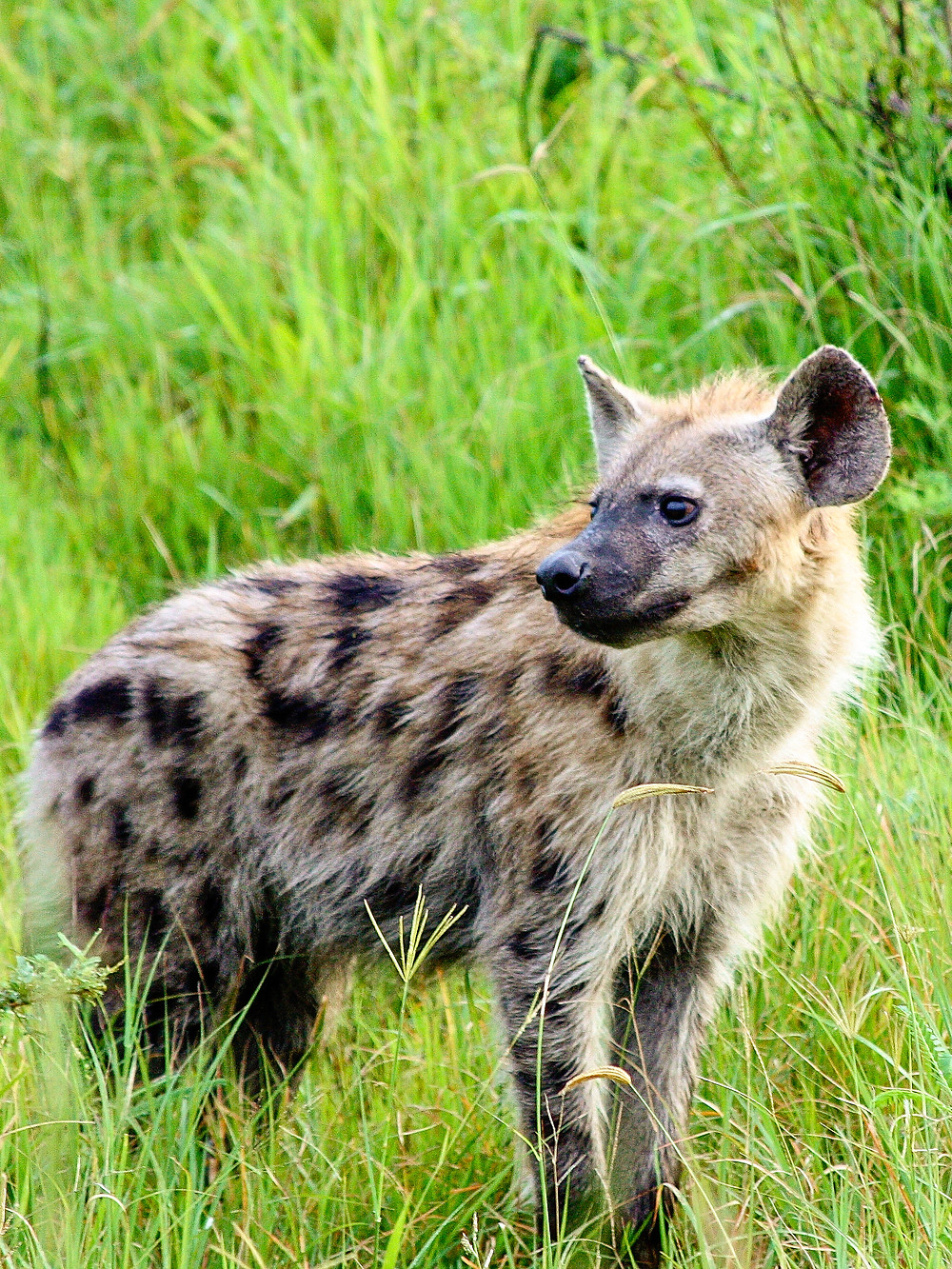 Spotted hyena © TerraLens Photography LLC